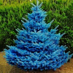 Blue Colorado kerstboom...